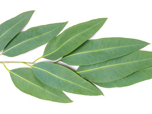 Listerine aux huiles essentielles - branche d'eucalyptol