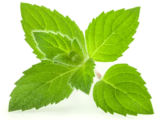 plante de menthol comme huile essentielle entrant dans la composition de Listerine